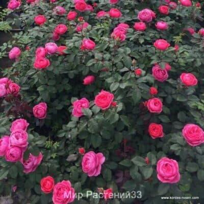 роза кордес новинка gartenprinzessin-marie-jose кордес