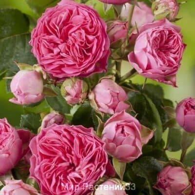 Роза спрей Candy Rokoko. Кенди Рококо. Тантау.