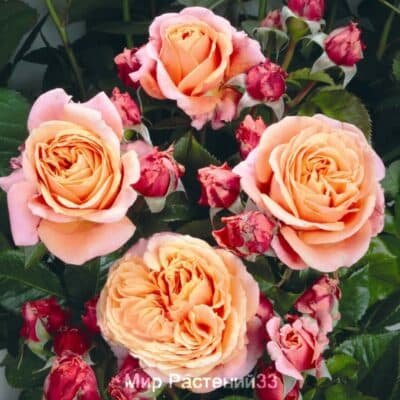 Штамбовая роза Mary Ann. Мэри Энн /90 см. Тантау.