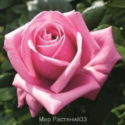 Роза чайно-гибридная Romina. Ромина. Тантау.