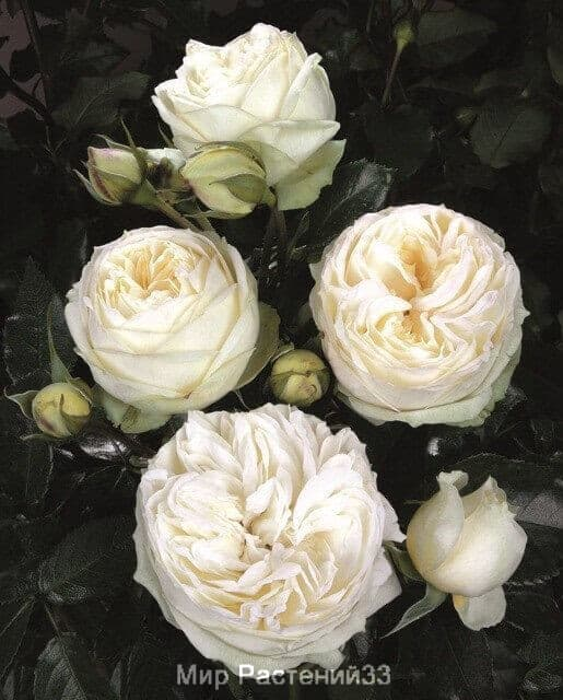Роза чайно-гибридная Wedding Piano. Веддинг Пиано. Тантау.