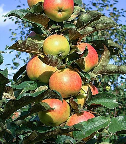 останкино яблоня