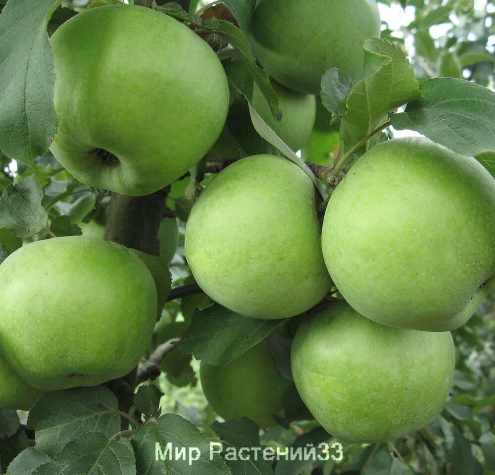 ренет симиренко яблоня