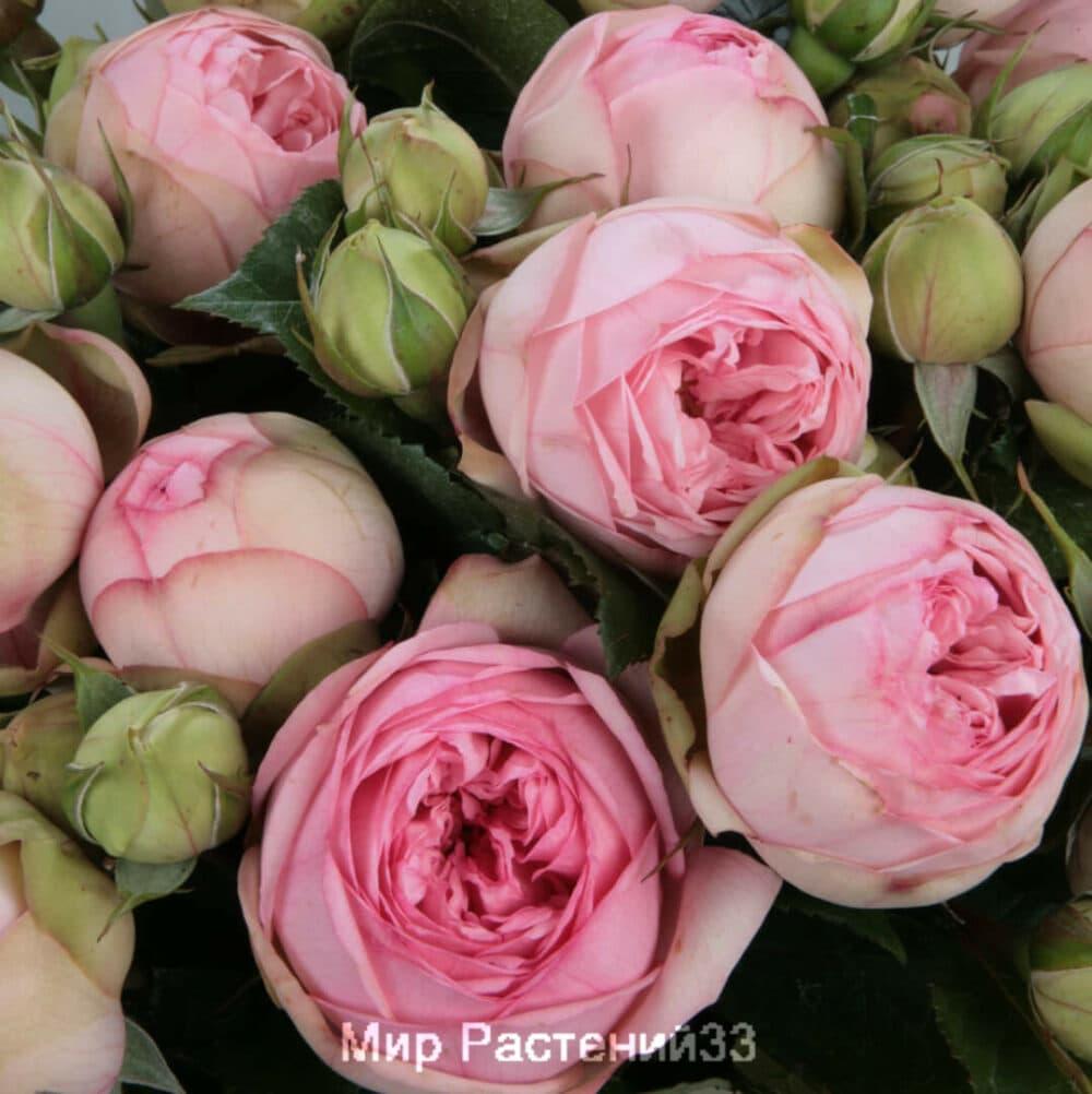 Роза чайно-гибридная Charming Piano. Чарминг Пиано. Тантау.