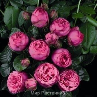 Роза чайно-гибридная Pink Piano. Пинк Пиано. Тантау.