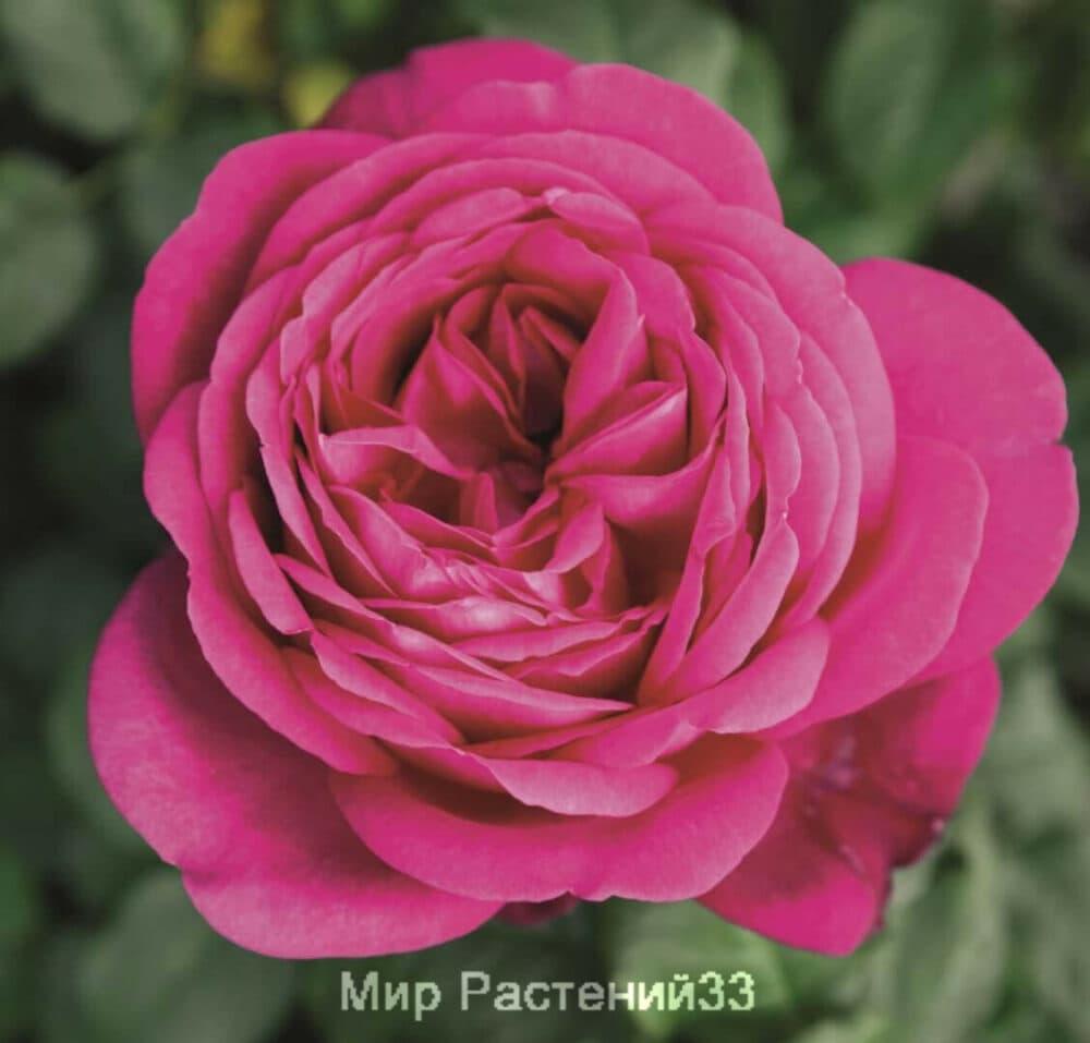 Роза чайно-гибридная J. W. von Goethe Rose. Иоганн Вольфганг фон Гете Роуз. Тантау.