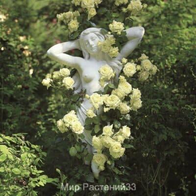Роза плетистая Elfe. Эльф. Тантау.