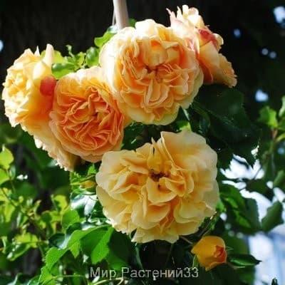 Роза мини-плетистая Lizzy. Лизи. Тантау.