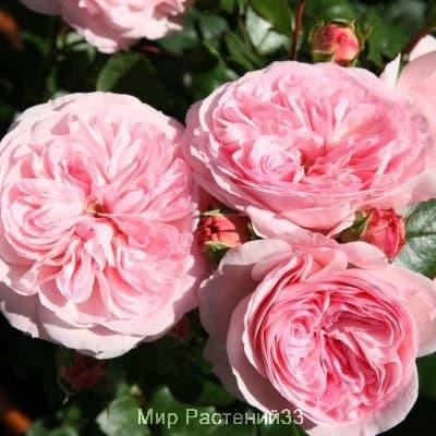 Роза флорибунда Mariatheresia. Мария Тереза. Тантау.