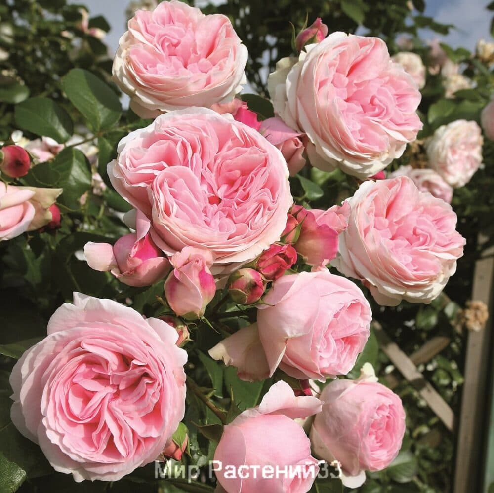 Роза плетистая Giardina. Гардиния. Тантау.