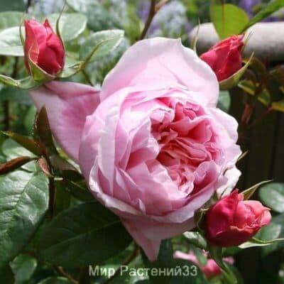 Роза чайно-гибридная Schöne Maid. Шоне Майд. Тантау.