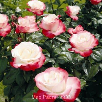 Роза чайно-гибридная Nostalgie. Ностальжи. Тантау.