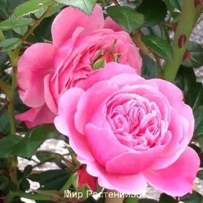Роза мини-плетистая Eva. Ева. Тантау.