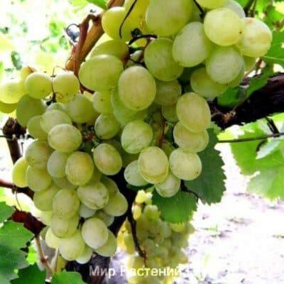 Виноград Янтарь