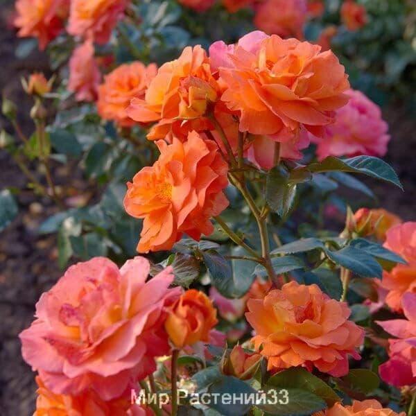 Роза флорибунда Morning Sun. Морнинг Сан. Тантау.