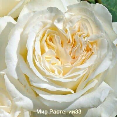 Роза чайно-гибридная Irina. Ирина. Тантау.