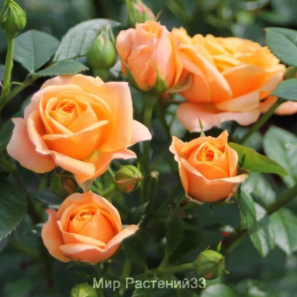 Роза флорибунда Bernstein Rose. Бернштайн Роуз. Тантау.
