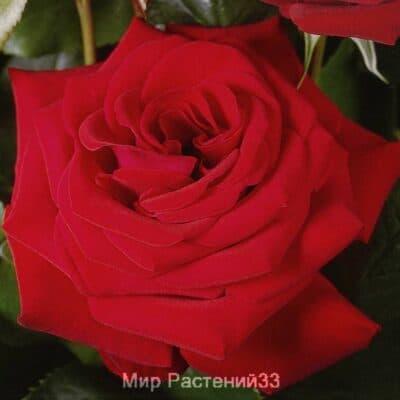 Роза чайно-гибридная Herz Ass. Херц Асс. Тантау.