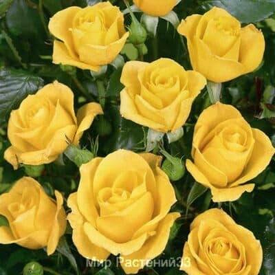 Роза флорибунда Goldquelle. Голдквелле. Тантау.