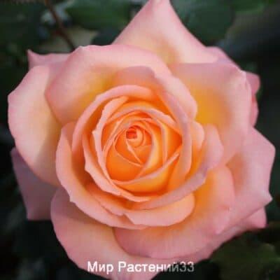 Роза чайно-гибридная Frohsinn. Фрохсинн. Тантау.
