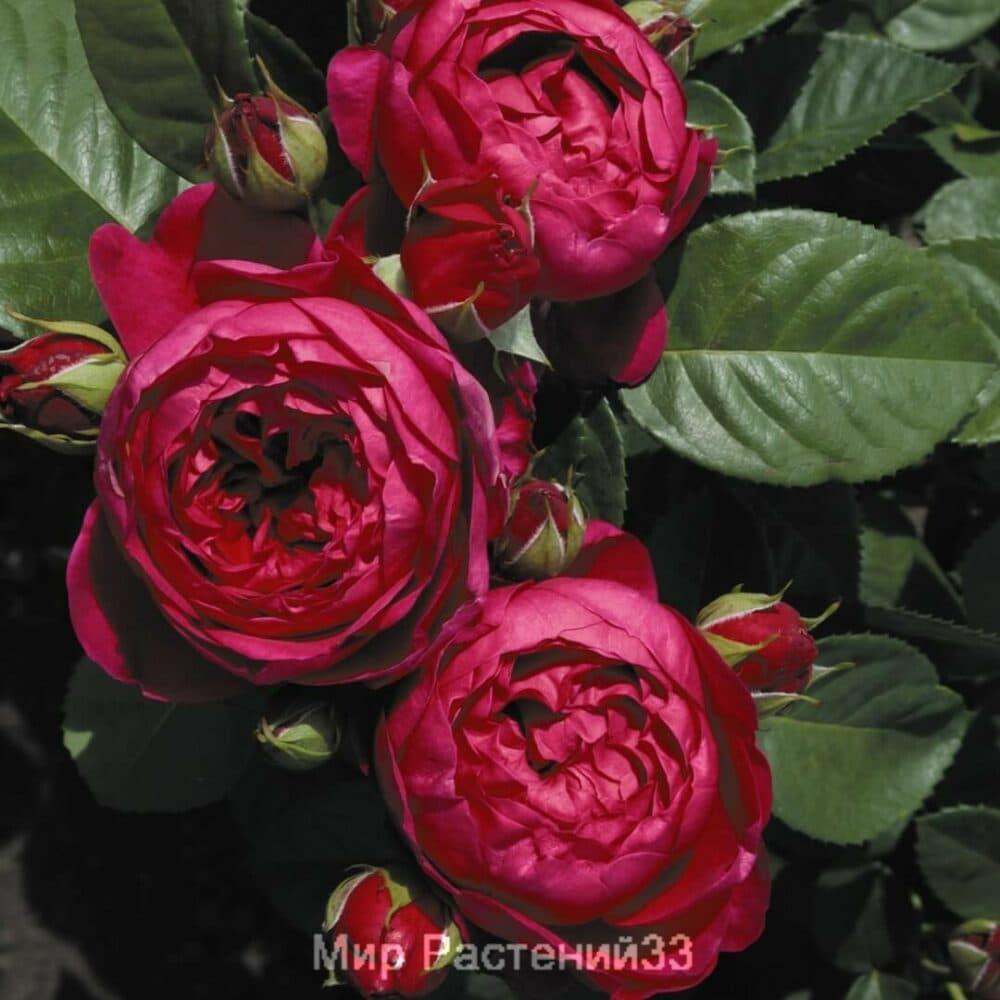 Роза чайно-гибридная Ascot. Аскот. Тантау.
