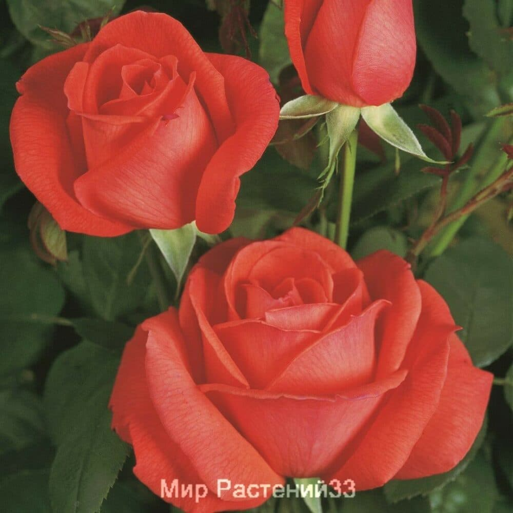 Роза чайно-гибридная Super Star. Супер Стар. Тантау.