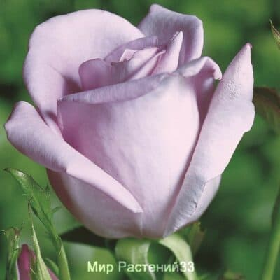 Роза чайно-гибридная Mainzer Fastnacht. Майнцер Фастнахт. Тантау.
