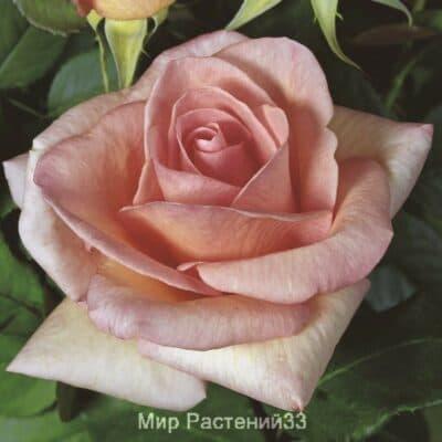 Роза чайно-гибридная Summer Lady. Саммер Леди. Тантау.