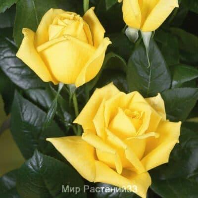 Роза чайно-гибридная Landora. Ландора. Тантау.