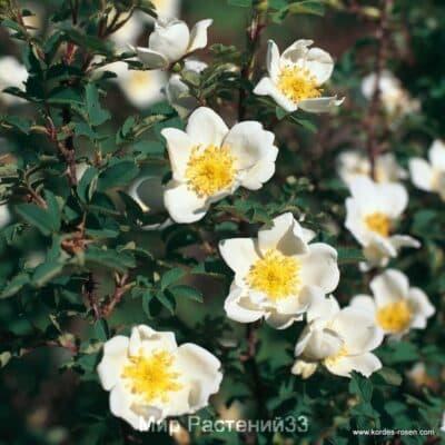 Роза парковая Pimpinellifolia. Пимпинелифолия. Кордес.