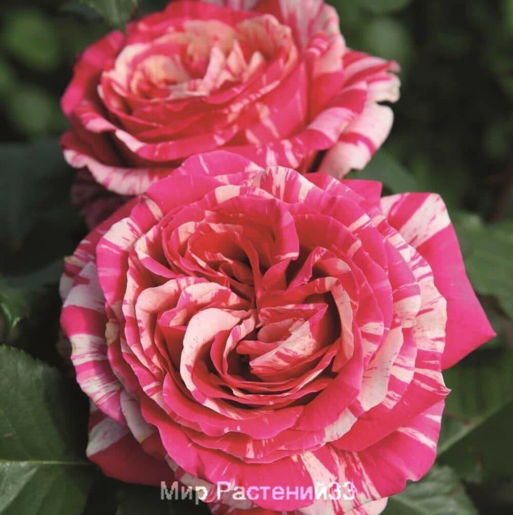 Роза чайно-гибридная Best Impression. Бест Импрэшен. Тантау.
