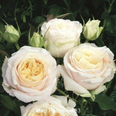 Роза чайно-гибридная My Girl. Май Гёрл. Тантау.