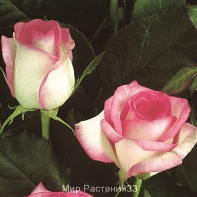 Роза чайно-гибридная Biedermeier Garden. Бидэрмайер Гардэн. Тантау.