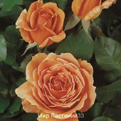 Роза чайно-гибридная Ashram. Ашрам. Тантау.