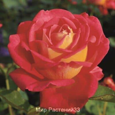 Роза чайно-гибридная Rebecca. Ребекка. Тантау.