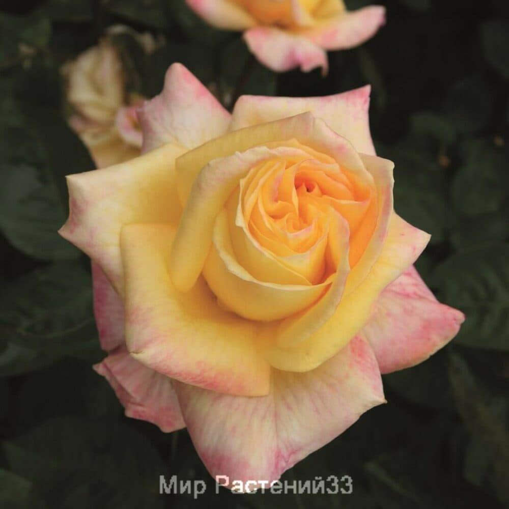 Роза чайно-гибридная Canary. Кенери. Тантау.
