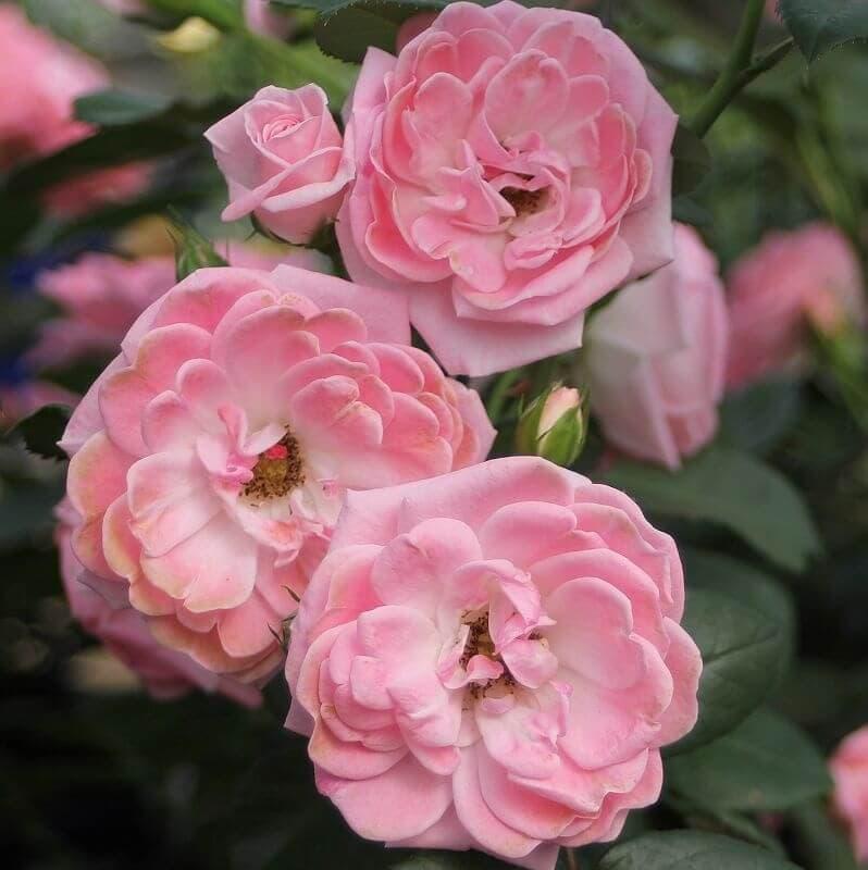 Роза флорибунда Rosali 83. Розали 83. Тантау.