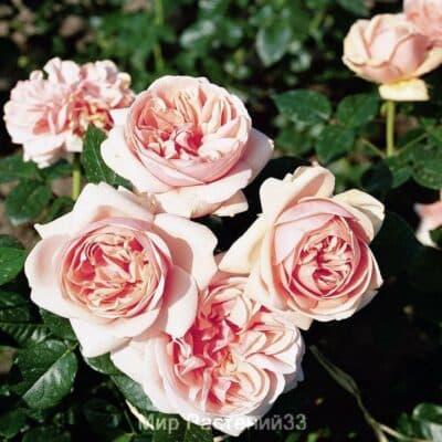 Роза чайно-гибридная Aphrodite. Афродита. Тантау.