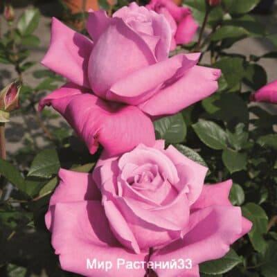 Роза флорибунда Blue Parfum. Блю Парфюм. Тантау.