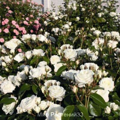 Роза флорибунда Alabaster. Алабаштер. Тантау
