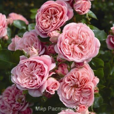 Роза флорибунда Bailando. Байландо. Тантау.
