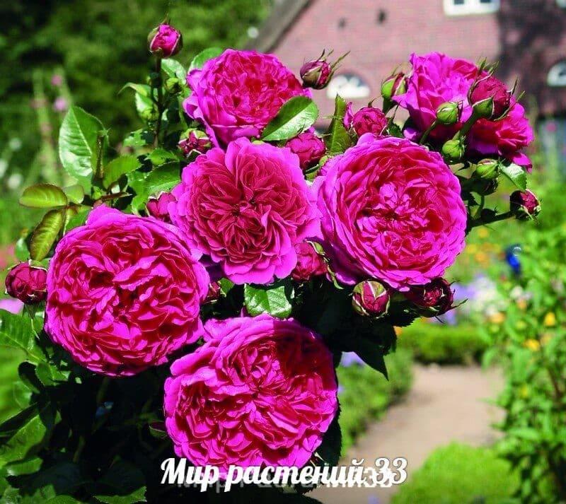 Роза чайно-гибридная Senteur Royale. Сентёр Роял. Тантау.