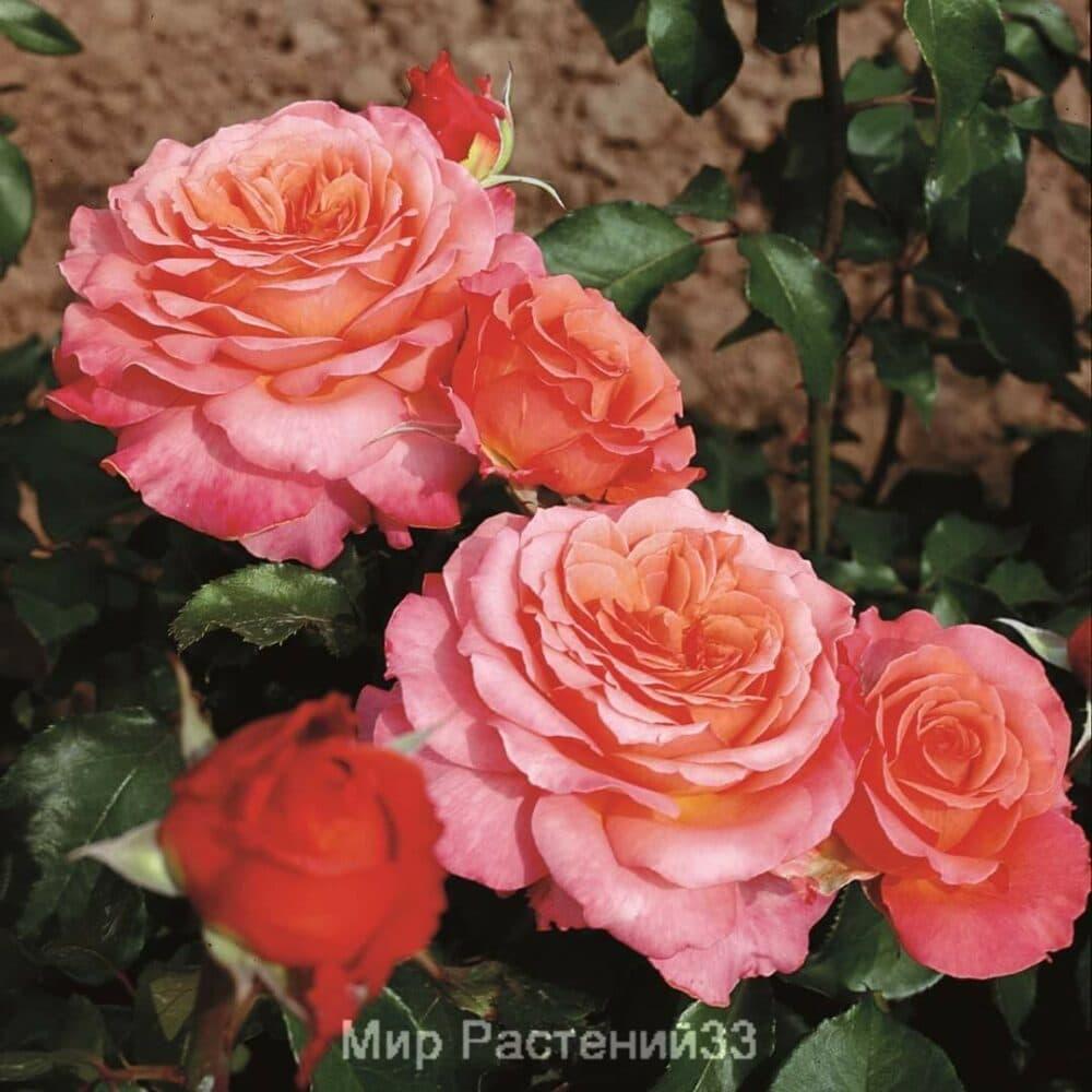 Роза чайно-гибридная Albrecht Dürer Rose. Альбрэхт Дурэр Роз. Тантау.