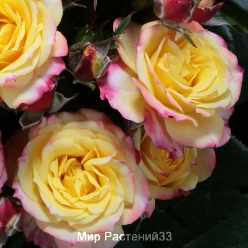 Роза патио Tropical Clementine. Тропикал Клементина. Тантау.