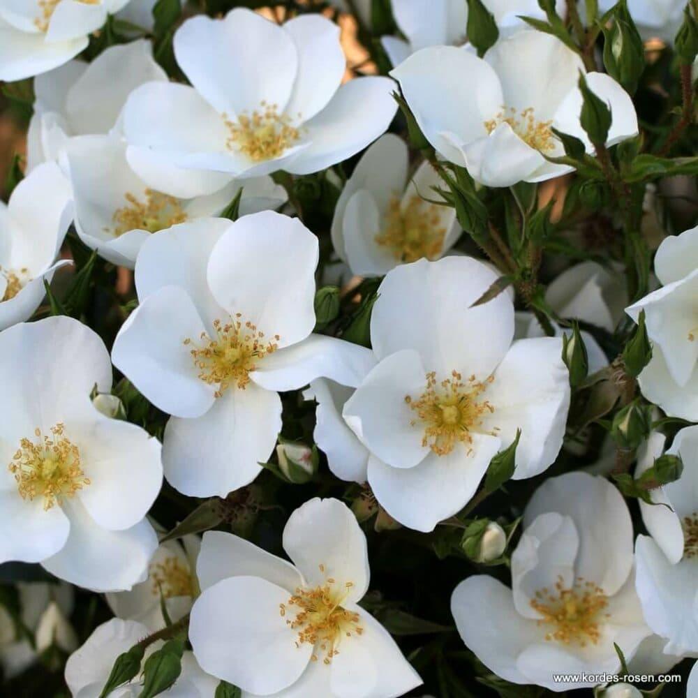 Роза почвопокровная Escimo. Эскимо. Кордес.