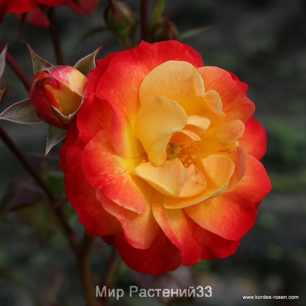 Роза флорибунда Firebird. Фаербёрд. Кордес.