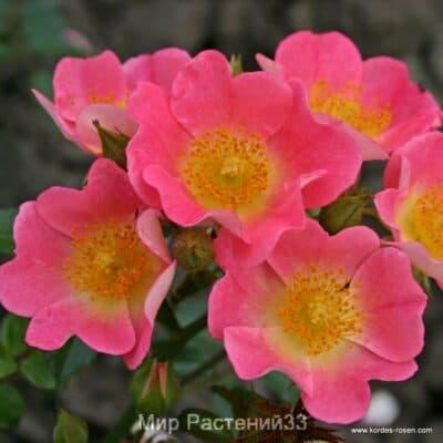 Роза почвопокровная Topolina. Тополина. Кордес.