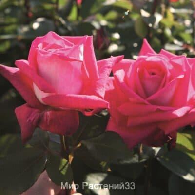 Роза чайно-гибридная Acapella. Акапелла. Тантау.