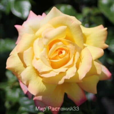 Роза чайно-гибридная Gloria Dei. Глория Дей. Тантау.