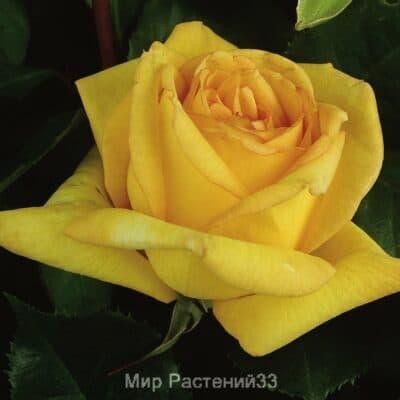 Роза чайно-гибридная Golden Tower. Голден Тауэр. Тантау.